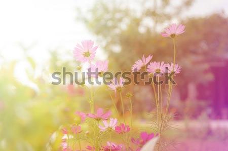 Космос цветы в саду с солнечным светом. Винтажный тон