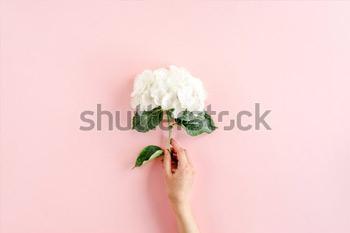 Красивый, белый цветок гортензии в руке девушки на розовом фоне.