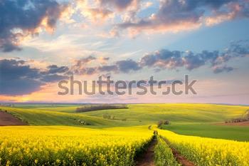 Желтые цветущие поля, грунтовая дорога и красивая долина. Весенний природный пейзаж.