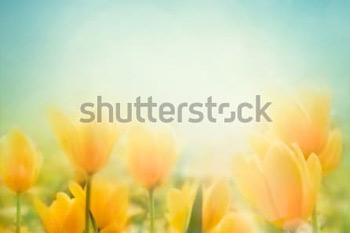 Красивые желтые тюльпаны. Весенний цветочный фон.